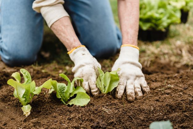 Person planting lettuce seedlings in compost