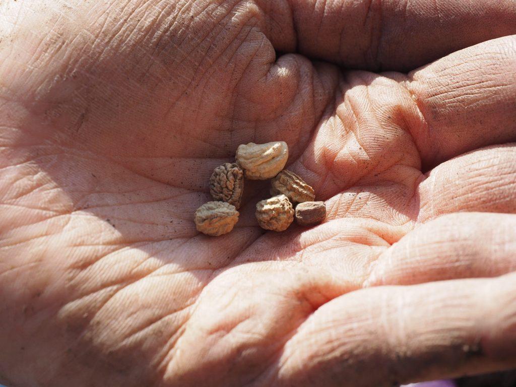 Nasturtium seeds