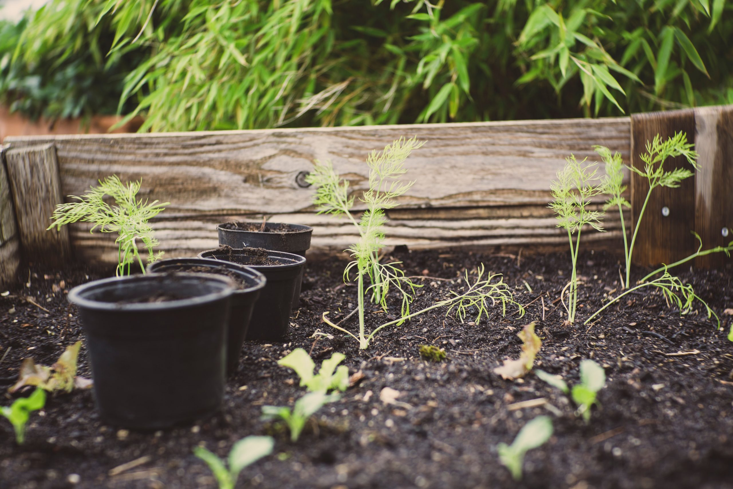 Fennel plants in raised beds